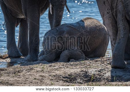 Baby Elephant Lying In Mud Beside River