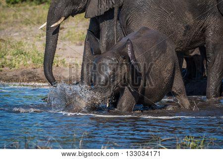 Baby elephant splashing from shallows beside others