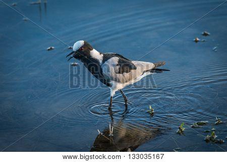 Blacksmith plover wading through shallows of river