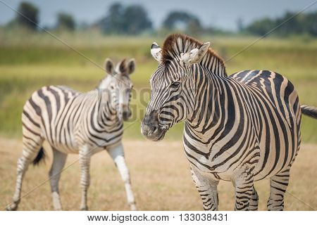 Close-up of Burchell's zebra with another behind