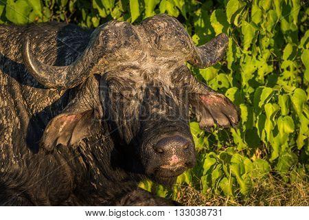 Close-up of Cape buffalo head at dusk