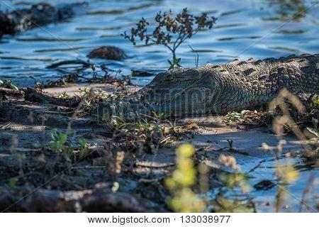 Close-up of Nile crocodile on sandy shoreline