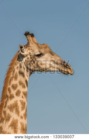 Close-up of South African giraffe in profile