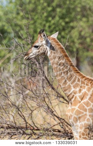 Close-up of South African giraffe in sunlight