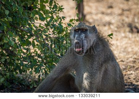 Close-up of chacma baboon sitting beside bush