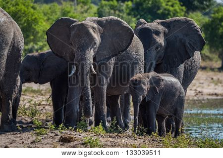 Close-up of elephant family walking towards camera