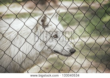 White wolf in a cage staring at liberty.
