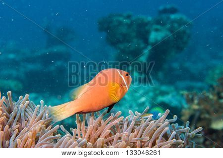 Clown Fish Inside Pink Purple Anemone Close Up