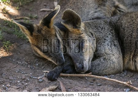 Two Wallabies have a nap under the tree
