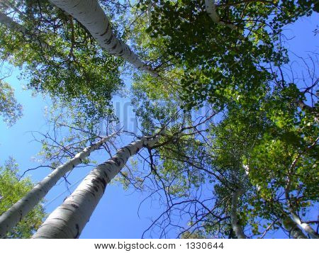 looking up at tall trees in the forset poster