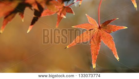 red maple leaves outdoor in fall season