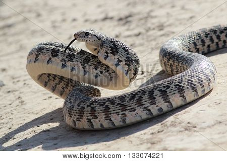 A Gopher Snake in an Attack Pose