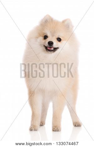 adorable pomeranian spitz puppy on white background