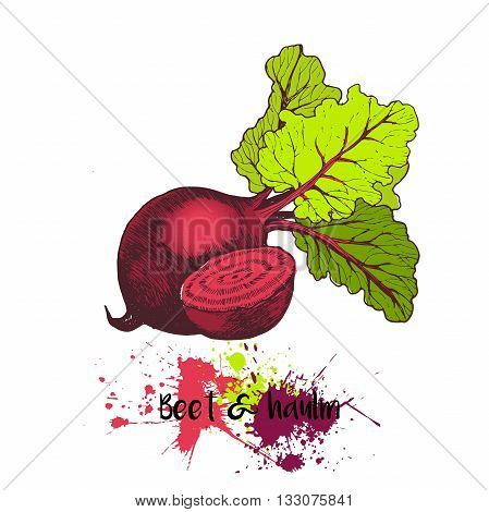 Vector hand drawn illustration of beet with haulm. Engraving color garden fresh vegetable isolated on white background. For cocktail smoothie cooking and salsds.