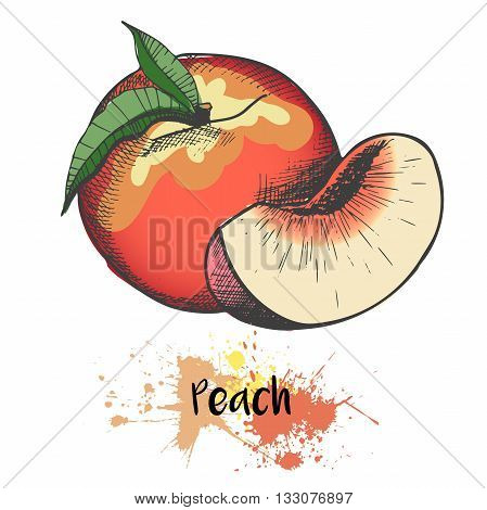 Vector hand drawn color illustration of peach or apricot or nectarine fruit. Engraving summer fresh fruit isolated on white background. For cocktail smoothie desserts and salsds.