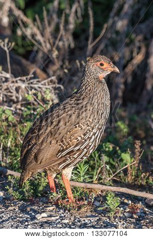 A Red-necked francolin also called a Red-necked spurfowl Pternistis afer