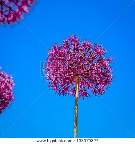 Allium Flower Blooming With Blue Sky Background