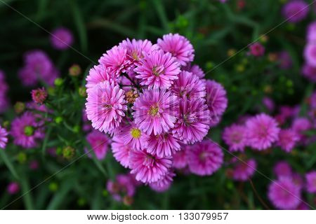 Purple Aster amellus flower in sunny day
