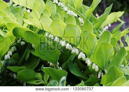 Flowering plant of Polygonatum multiflorum - Solomon's seal David's harp ladder-to-heaven or Eurasian Solomon's seal