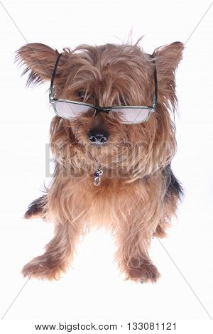 a little yorkshire terrier with glasses on white background
