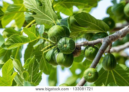 figs ripening on the branch of a fig tree