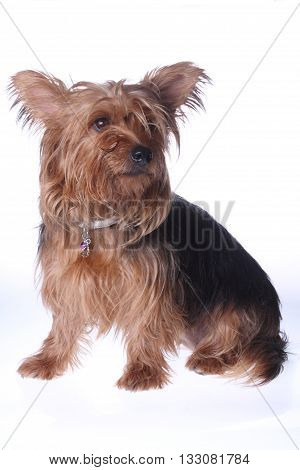 a purebred yorkshire terrier dog sitting on white background