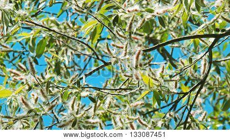 Fluff on the tree. In summer sunny park.