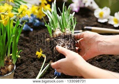 Gardeners hands with narcissus seedling on soil background