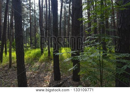a warm summer morning in a beautiful pine forest