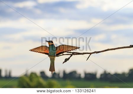 Bird at sunset with outstretched wings, a unique moment, a good bird flight, European bee eater