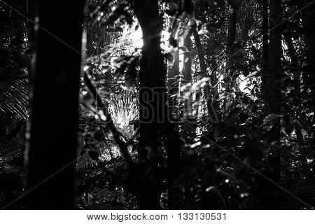 Black and white photograph of a beam of light coming behind a tree and reflecting in leafs in a tropical forest environment. Represents hope salvation something that is coming or hidden behind difficulties and to reveal or unfold something.
