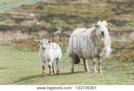 Lamb and Eve Among Green Pastures In Wales poster