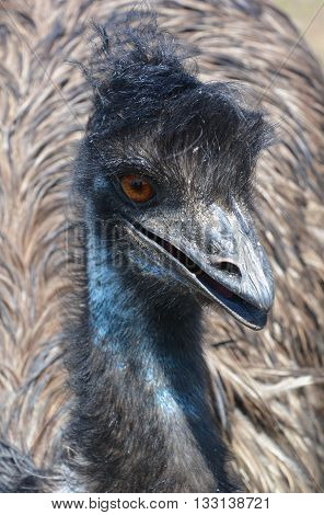 The emu is the largest bird native to Australia and the only extant member of the genus Dromaius. It is the second-largest extant bird in the world by height, after its ratite relative, the ostrich