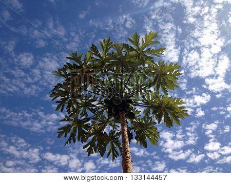 A fruitful papaya tree with a blue sky background