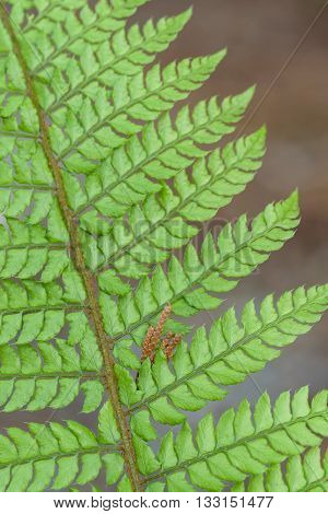 Close up of a fern in the spring
