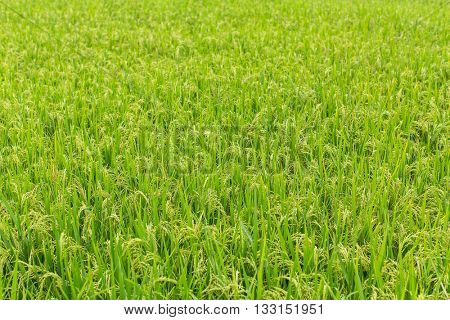 Light-green summer rice field.