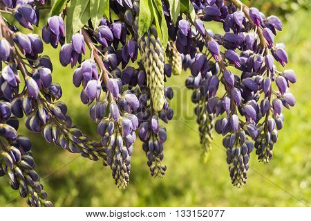 Beautiful blue flower of the lupine on background of the green herb