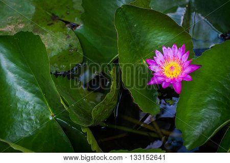 Lotus bloom in the lake so beautiful