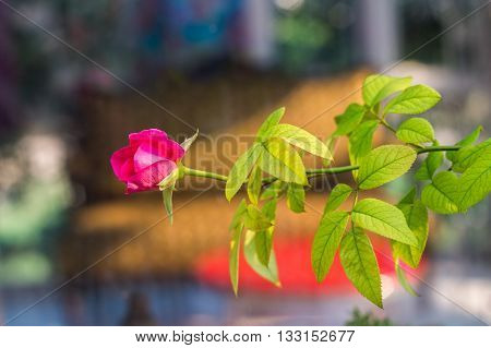 Rose flower so beautiful in nature .