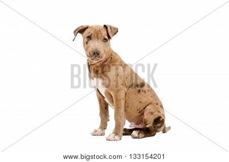 Pretty puppy pit bull sitting isolated on white background