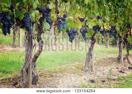 vineyards of blue grape