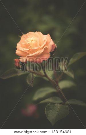 beautiful rose in garden background closeup