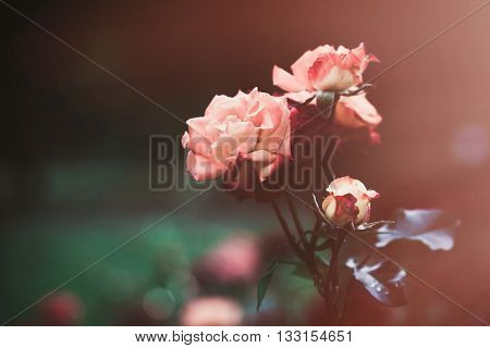 beautiful pink garden roses background closeup shallow depth of field