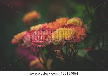 beautiful  garden roses background closeup shallow depth of field