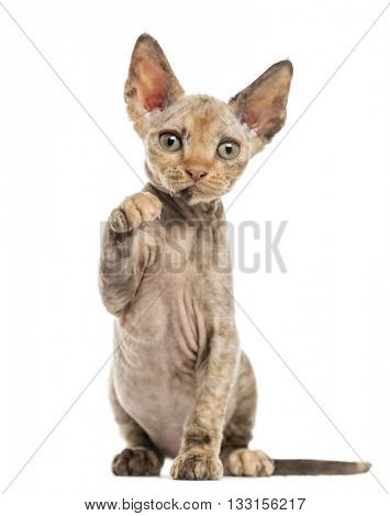 Devon Rex kitten on hind legs, pawing up and looking at the camera, isolated on white
