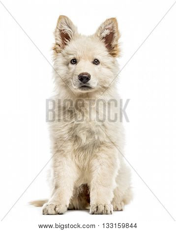 White Swiss Shepherd puppy looking at the camera, isolated on white