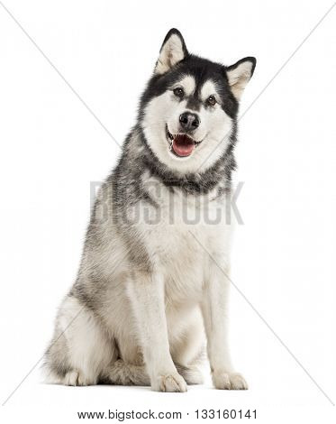 Alaskan Malamute looking at the camera, sticking the tongue out, isolated on white