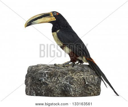 Profile of a Pale Mandibled Aracari perched on a rock, Pteroglossus Erythropygius, isolated on white