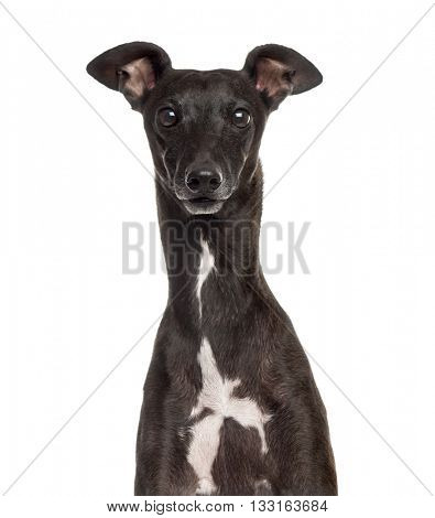 Close up of an Italian Greyhound, Piccolo Levriero Italiano, isolated on white