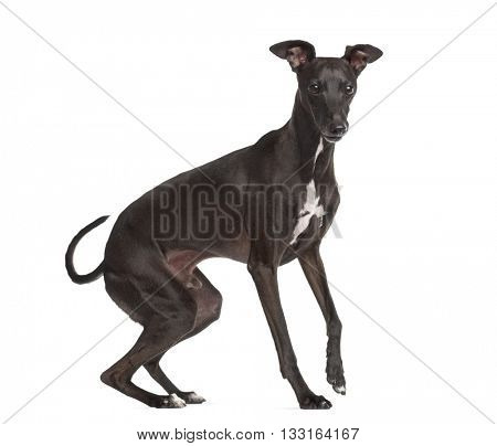 Italian Greyhound, Piccolo Levriero Italiano, standing up and isolated on white